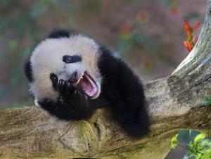 z14679958Q,I-pandy-wielkie